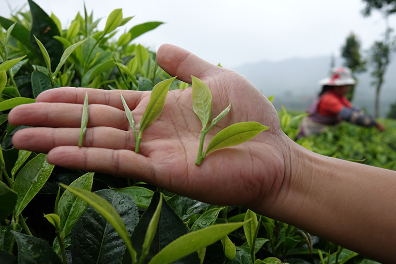 How many different categories of tea leaf quality are there?